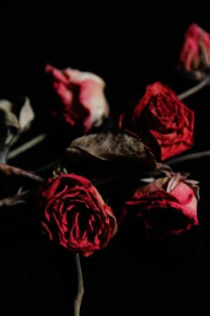 les_roses_8774.jpg